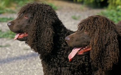 Is the Irish Water Spaniel Hypoallergenic?