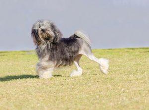 Lowchen-Hypoallergenic-Dog