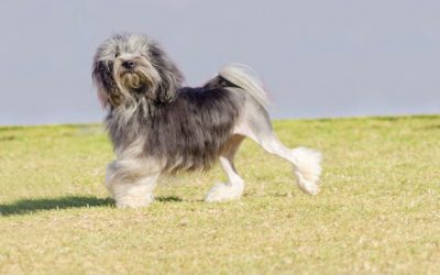 Is the Lowchen a Hypoallergenic Dog?