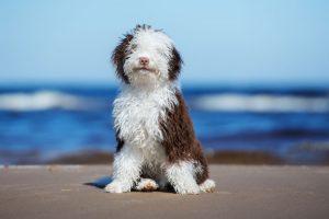 Spanish-Water-Dogs-Hypoallergenic-Health