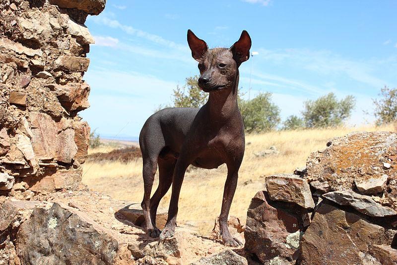 about-peruvian-hairless-dog