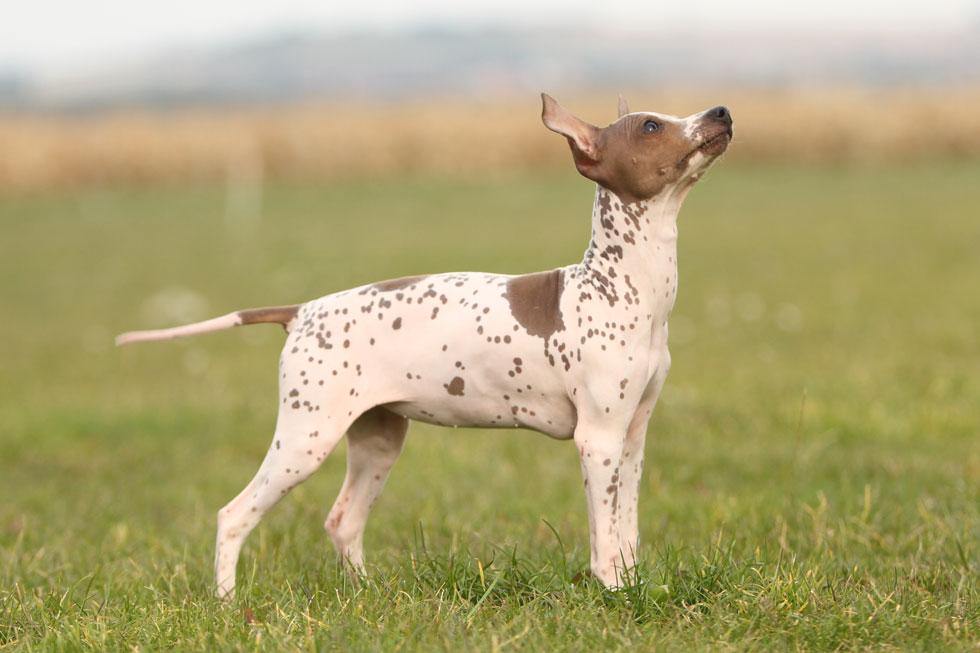 american-hairless-terrier-allergies