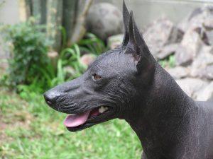 peruvian-hairless-dog-hypoallergenic