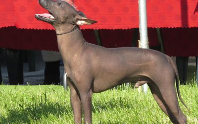 Is the Xoloitzcuintli Dog Hypoallergenic?