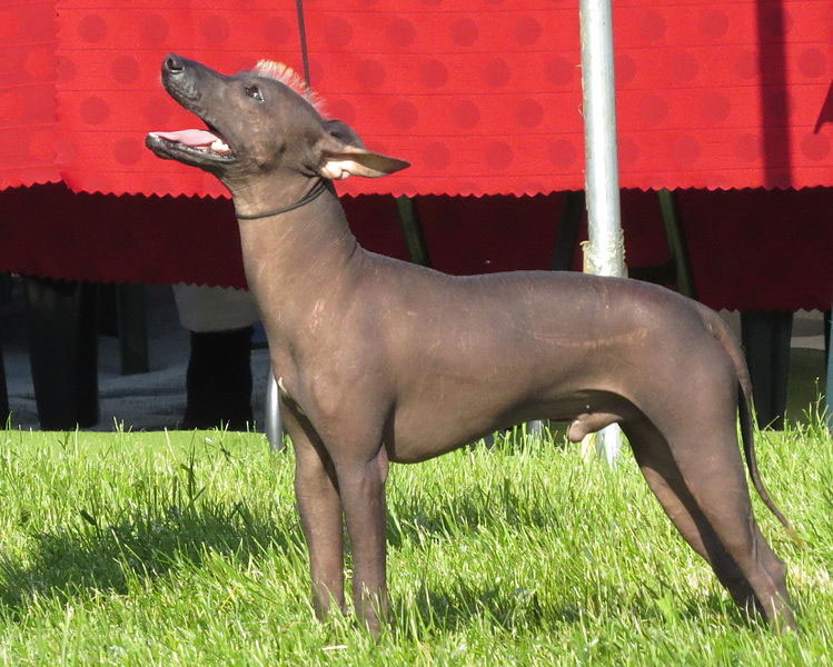 xoloitzcuintli-dog-breed