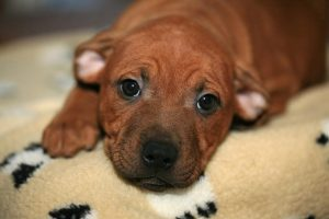 How-to-Select-the-Ideal-Hypoallergenic-Dog-Blankets