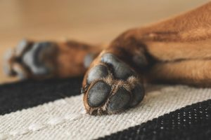 The-Common-Causes-of-Dry-Paws
