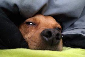 allergy-free-dog-sleeping