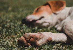 cracked-dog-paws