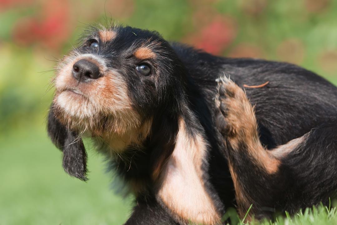 dog-scratch-Hypoallergenic-Dog-Food