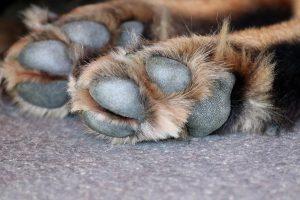 dry-dog-paws-Why-Does-My-Doggie-Need-Paw-Moisturizer