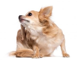 natural-probiotics-for-dogs-Chihuahua-scratching