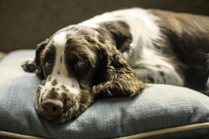 spaniel-dog-pillow-bed