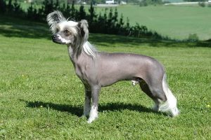 Chinese Crested Dog Hypoallergenic