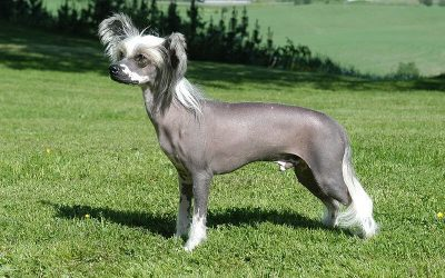 Are Chinese Crested Hypoallergenic Dogs?