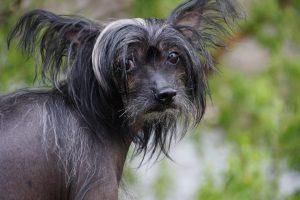 chinese-crested-dog-training