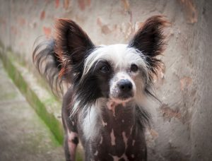 chinese-crested-puppy