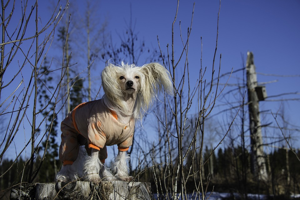 do-chinese-crested-dogs-shed